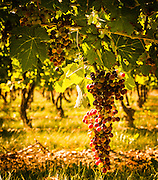 Cabernet Sauvignon, on the vine. Back-lit, selectively translucent, rich texture with a vineyard as a background.