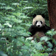 Giant Panda, (Ailuropoda melanoleuca) Wolong Natural Reserve. Qionglai mountains. Sichuan, China.   Captive Animal.