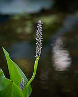 Pickerel Weed   Irmo, South Carolina  photo by catherine brown
