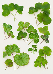 Hepatica nobilis leaves laid out on a white background.
