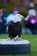 In the summer months, certain evenings feature a raptor education program in the front lawn of Skamania Lodge located in Washington's Columbia River Gorge