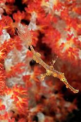 Solenostomus leptosoma, Zarter Geisterpfeifenfisch vor Weichkorallen, delicate ghost pipefish with soft corals, Tulamben, Bali, Indonesien, Indopazifik,  Indonesia Asien, Indo-Pacific Ocean, Asia