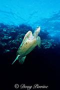 green sea turtle, Chelonia mydas, Five Caves, Makena, East Maui, Hawaii, USA ( Central Pacific Ocean )