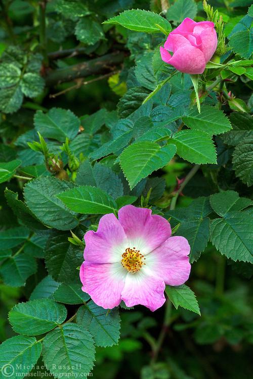 Eglantine Rose (Rosa rubiginosa) flowering in British Columbia, Canada
