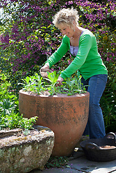 Carol Klein potting up large terracotta container with Cerinthe major 'Purpurascens'
