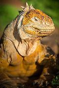 Land Iguana, North Seymour Island, Galapagos Islands, Ecuador, South America