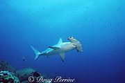 scalloped hammerhead shark, Sphyrna lewini, Endangered Species, Darwin Island, Galapagos Marine Reserve, Galapagos, Ecuador ( Eastern Pacific Ocean )