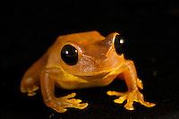 Tree frog (Nyctimistes pulchra)