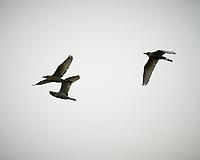 Cattle Egret (Bubulcus ibis). Caroni Bird Sanctuary, Caroni Swamp, Trinidad, Image taken with a Nikon D3s camera and 70-300 mm VR lens.