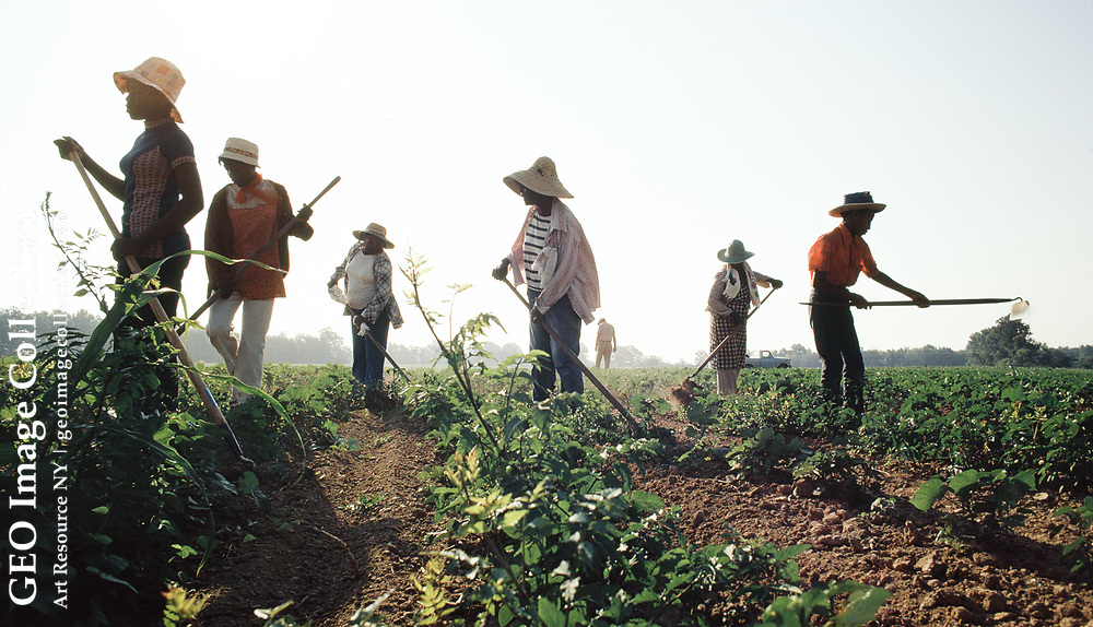 """For 75 cents an hour , ten hours a day, for as long as the work lasts, residents of Pace and Beulah work """"choppin' cotton"""" or hoeing weeds for white landowner Tom Kimbrell of Pace, MS. The younger boy there is 12 years old, but others remember doing this since they were 9 yr. old. Mississippi Delta."""
