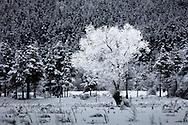Snowy white tree