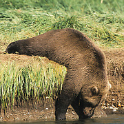 Alaskan Brown Bear adult leaning over the side of a bank to get a drink of water. Katmai National Park, Alaska