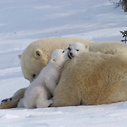 Mother and cub polar bear takes a momment to play and rest,  traveling towards Hudson Bay passes through a spruce forest in Wapusk National Park. It's early March and the temperatures are -46F, this is the time mother and cubs emerge from the den. Manitoba, Canada