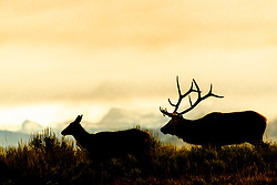 Elk Silhouette, the cow elk has something the bull elk wants.  Sunrise in Jackson Hole.