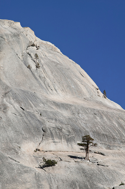 A few determined trees have managed to take hold and grow on an otherwise smooth granite dome in Yosemite National Park, California.