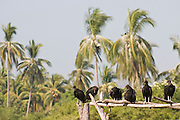 Black vultures (Coragyps atratus) stand in a line on a wood beam on a palm tree lined beach on Maruata Bay, Michoacan State, Mexico. Maruata is a Pomaro fishing village set in a beautiful bay and a popular destination among independent-minded travelers. Fishing by locals, a fresh water wetland and rich ocean waters attracts a great number of birds to the area.