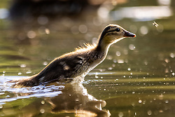 © Licensed to London News Pictures. 15/06/2021. Leeds UK. A duckling chases a fly across the lake at Golden Acre park in the bright sunshine in Leeds this morning. Photo credit: Andrew McCaren/LNP