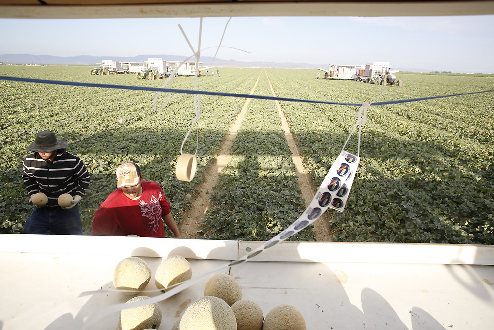 Picking cantaloupes outside of Firebaugh, CA, the heart of melon country. California produces over 60% of the cantaloupes grown in the United Sates, and more than two-thirds of those come from this stretch of farmland in the southern San Joaquin valley.  (https://ipmdata.ipmcenters.org/documents/pmsps/2016%20CA%20Melon%20PMSP.pdf)