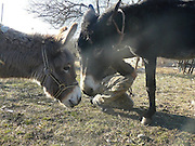 Donkey Duo Saved From Being Turned Into Sausages On Christmas<br /> <br /> When most people think of donkeys they immediately think of Donkey from the Shrek movies, an association which makes one smile because of the upbeat and optimistic character.<br /> The reality is unfortunately very different, as these animals are usually used only for one thing: carrying heavy loads. They live a sad life filled with hard work, whipping and other forms of abuse.<br /> Unfortunately, in some parts of the world, they are also sadly turned into meat for sausages – usually when they are no longer able to carry heavy loads. Bulgaria is one of the countries where this happens, and this Christmas, two donkeys were miraculously saved from being brutally slaughtered for their meat. They were saved thanks to a sanctuary for abused farm animals where two people work tirelessly to save animals from abuse and violent death and give the care and love they deserve.<br /> <br /> Photo shows: Both Katia and Toshko still need a lot of care and love but they're getting happier and happier every day<br /> ©Exclusivepix Media