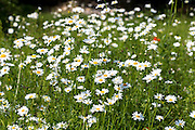 Oxeye Daisies, Leucanthemum vulgare, herbaceous perennials in wildflower meadow grassland field in the UK