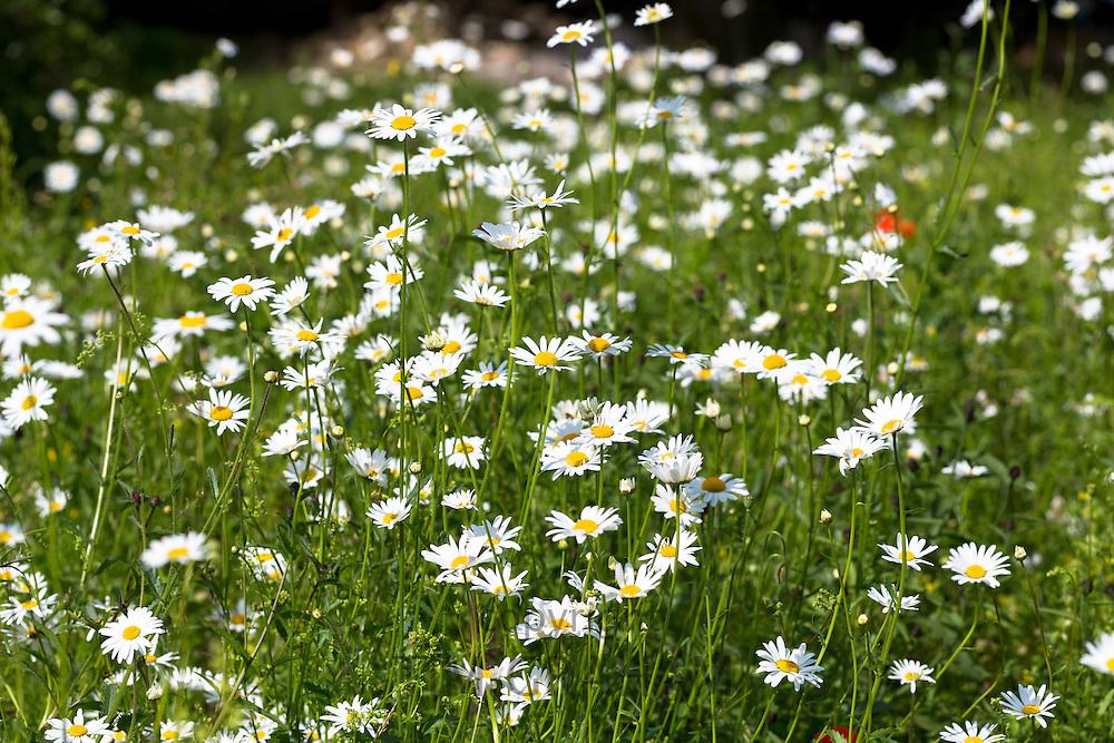 Oxeye Daisies, Leucanthemum vulgare, herbaceous perennials in wildflower meadow grassland field in the UK