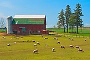 Sheep on farm<br />Wallacetown<br />Ontario<br />Canada