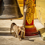 """Cat wandering the Sule Paya Buddhist temple in Yangon. Known and venerated in ancient Egypt as """"Mau"""" cats were domesticated (as much as one can ever domesticate a cat) around 10,000years ago - later than dogs. Interestingly, the forests of Asia contain more species of cat than any other continent."""