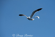 western gull, Larus occidentalis, off San Diego, Southern California, United States ( Eastern Pacific Ocean )