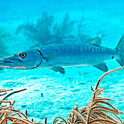 Great Baracuda reefs and nearby areas in Tropical West Atlantic, also nearly circumtropical; picture taken Grand Turk.