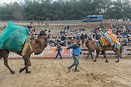 TURKEY, Izmir, Selçuk. Competing camels are paraded around the wrestling arena, in front of fans at the 35th annual Selçuk Camel Wrestling Festival.