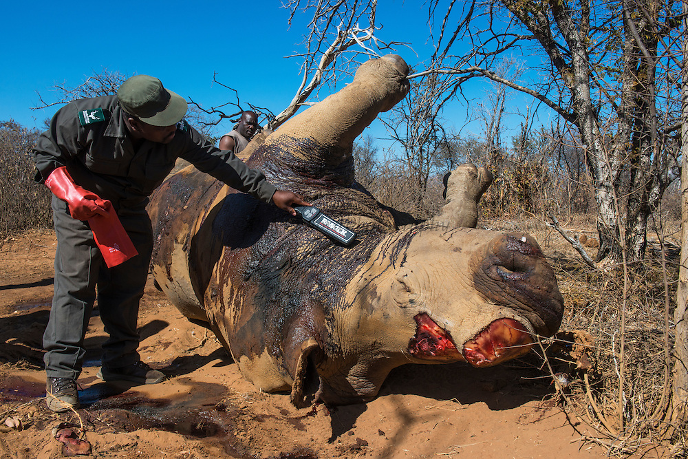 Poached White rhinoceros (Ceratotherium simum)<br /> Marataba, A section of the Marakele National Park<br /> Limpopo Province<br /> SOUTH AFRICA<br /> RANGE: Southern & East Africa<br /> ENDANGERED SPECIES