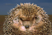 Long-eared Hedgehog (Hemiechinus auritus) rolled up in defensive posture, Gobi Desert, Mongolia