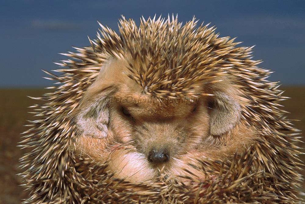 Long-eared Hedgehog (Hemiechinus auritus) rolled up in defensive posture, Gobi Desert, Mongolia
