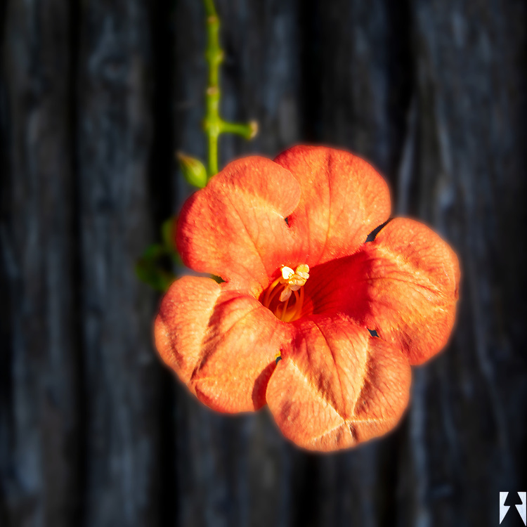 Single Orange Esperanza draped over a rustic wooden fence in the background.