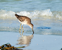 Greater Yellowlegs (Tringa melanoleuca). Image taken with a Nikon D3s camera and 70-300 mm VR lens.