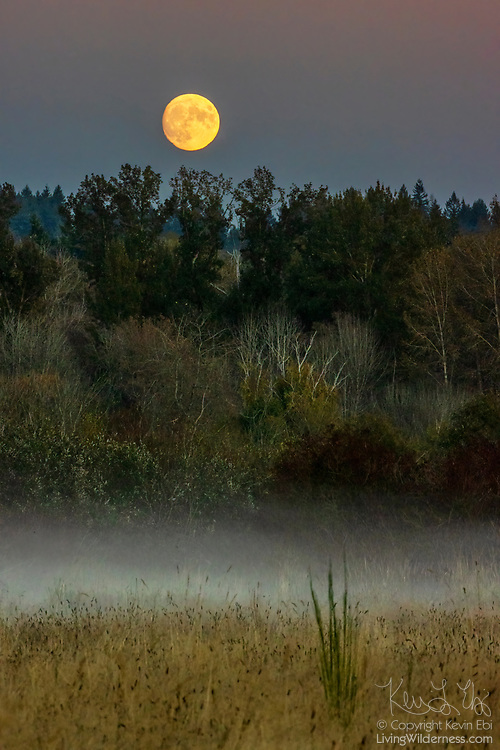 The nearly full moon rises over a foggy meadow in Marymoor Park, Redmond, Washington.