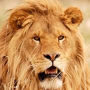 African Lion, (Panthera leo) Portrait of male. Captive Animal.