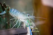 Genki Up Tsuchiyu har börjat odla räkor i kylvattnet på det geotermiska kraftverket. Besökare ska få fiska och äta räkorna.<br /> <br /> Genki Up Tsuchiyu is reusing the warmed mountain water for shrimp farming.<br /> <br /> Tsuchiyu Onsen.<br /> <br /> Fotograf: Christina Sjögren<br /> <br /> Copyright 2018, All Rights Reserved