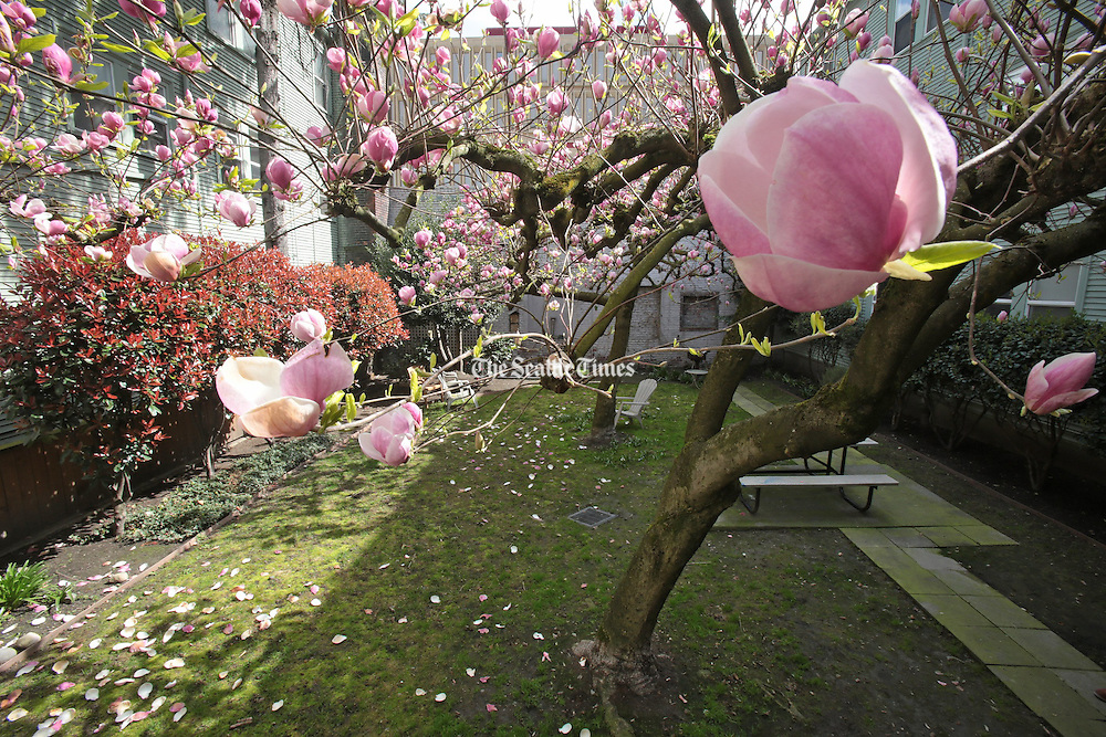 A magnolia tree stands in the courtyard of the Williamsburg Court Apartments. (Greg Gilbert / The Seattle Times, 2014)