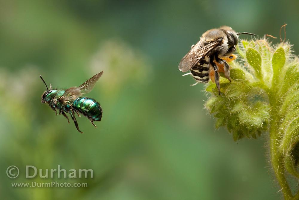 A green mason bee (Osmia sp) flies away from an annthidium bee (Anthidium sp) while it nectars on a Salt heliotrope (Heliotropium Curassavicum) flower. Photographed in the high-desert of Washington, at The Nature Conservancy's Whisper Lake Preserve.