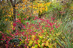 Combination of Persicaria amplexicaulis 'Firetail', Euonymus europaeus 'Red Cascade' AGM -Spindle, Pulmonaria 'Trevi Fountain' and Cortaderia richardii Brown's strain in front of a cherry at Cotswold Garden Plants