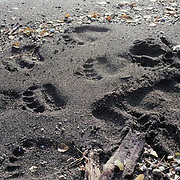 Tracks, Alaskan Brown Bear tracks on shoreline of lake on Alaska Peninsula .