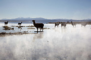 Llamas standing in the steaming misty water of a lagoon at dawn. Salar Uyuni salt flats and Eduardo Avaroa national park, south western Bolivia