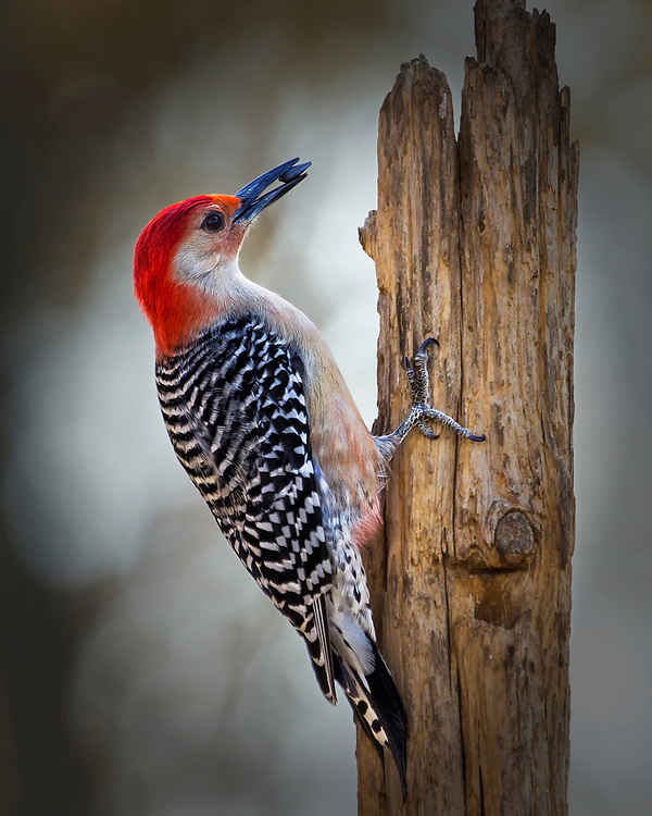 A Male Red-Bellied Woodpecker With A Seed