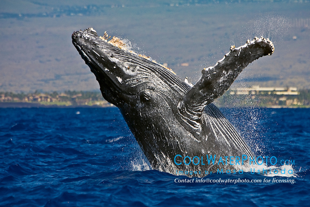 humpback whale, Megaptera novaeangliae, breaching, note rare gray body coloration for adult whale, Hawaii, USA, Pacific Ocean