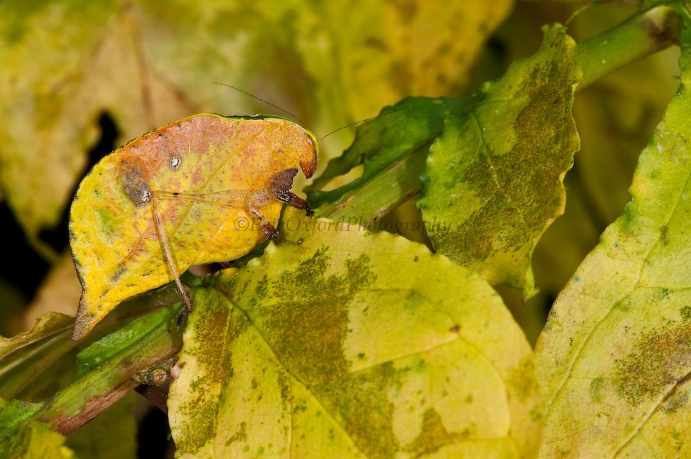 Yellow-leaf Katydid (Agaurella mirabilis)<br /> Yasuni National Park, Amazon Rainforest<br /> ECUADOR. South America