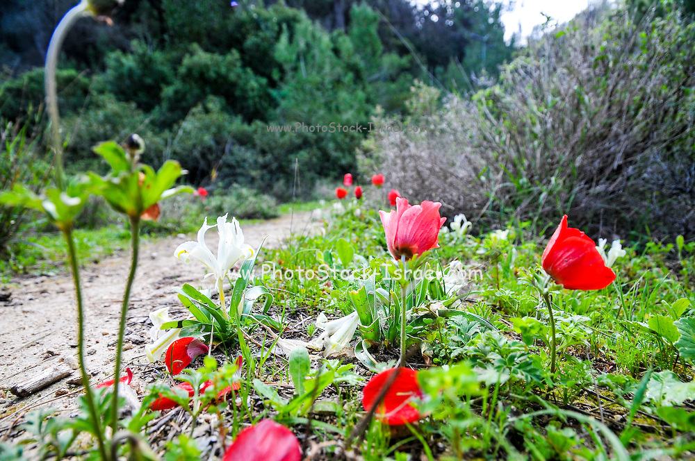 Spring growth - wild flowers blooming in the Carmel forest, Israel