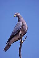 Band-tailed Pigeon - Patagioenas fasciata - Adult
