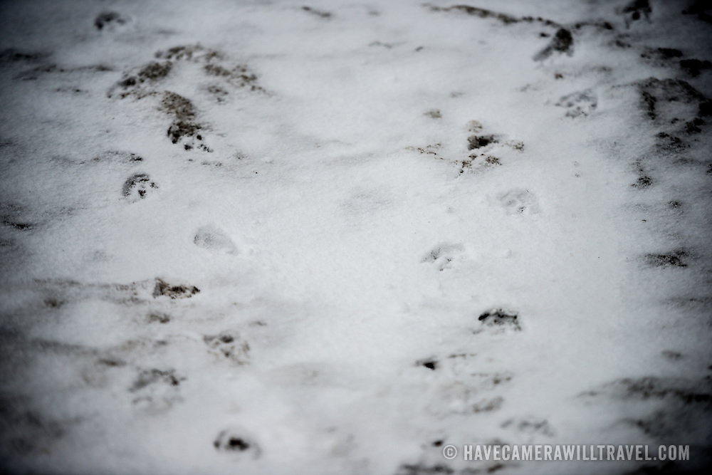 Footprints of Gentoo penguins in the fresh snow on Livingston Island in the South Shetland Islands in Antarctica.