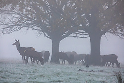 © Licensed to London News Pictures. 27/11/2020. London, UK. Deer herd together in the early morning frost and fog in Richmond Park. Walkers, cyclists drivers and Black Friday shoppers were hit with dense fog and a heavy frost this morning as they did the daily commute through Richmond Park, South West London. Yesterday Health Secretary Matt Hancock set out his plans for the end of lockdown on the 2 of December and introduced a new Covid Tier 2 restriction system for London with shops, pubs and restaurants to open up again for the Christmas period. Photo credit: Alex Lentati/LNP